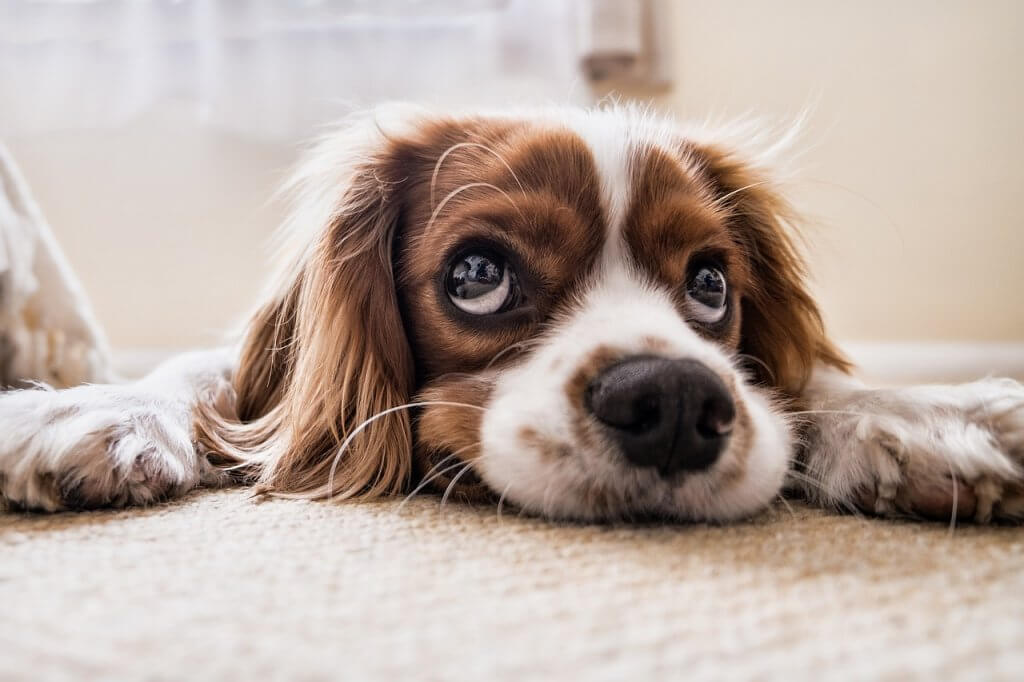 Pet Urine Carpet Cleaning